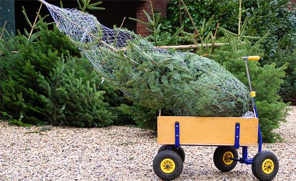 Weihnachtsbaumtransport im Bollerwagen